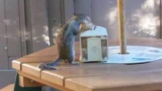 Squirrel Likes Napkins