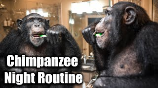 Chimpanzee Night Routine | Myrtle Beach Safari