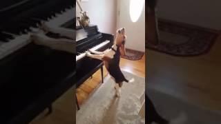 Собака играет на пианино ( фортепиано ) и поет об ужасах жизни