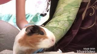 Чем вылечить морскую свинку от блох?