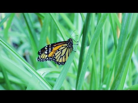 Helping Monarch Butterflies