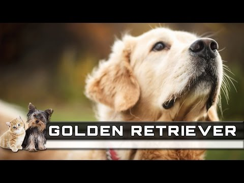 🐕 GOLDEN RETRIEVER Dog Breed - Overview, Facts, Traits and Price