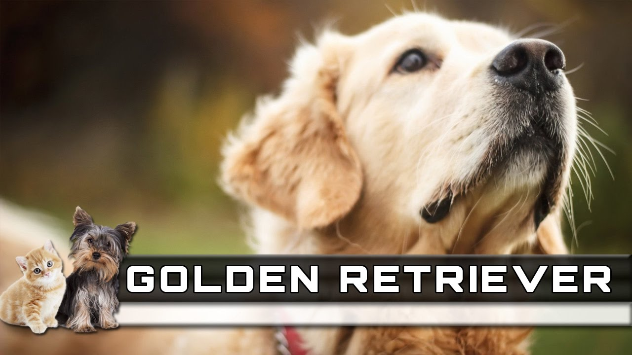 Golden Retriever Dog Breed Overview Facts Traits And Price