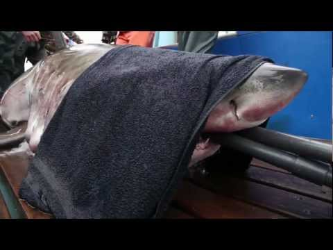Expedition Jacksonville: Tagging White Shark Lydia