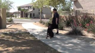 Dog Training Phoenix Arizona - European Doberman Pinscher  - On/ - Off Leash Obedience - King