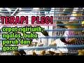 Terapi Pleci Mempercepat Pleci Ngiriwik Pleci Ngalas Pleci Buka Paruh Dan Pleci Gacor  Mp3 - Mp4 Download