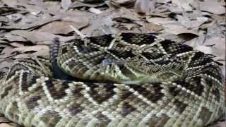 Interacting with an Eastern Diamondback Rattlesnake (Crotalus adamanteus)