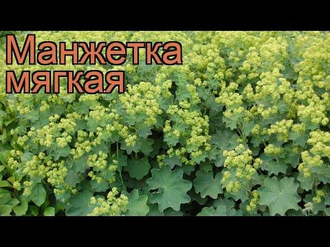 Манжетка мягкая (alchemilla mollis) 🌿 мягкая манжетка обзор: как сажать, рассада манжетки