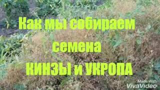 как мы собираем семена КИНЗЫ и УКРОПА