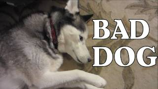Bad Dog! Guilty Dog! Shiloh does it again! Siberian Husky
