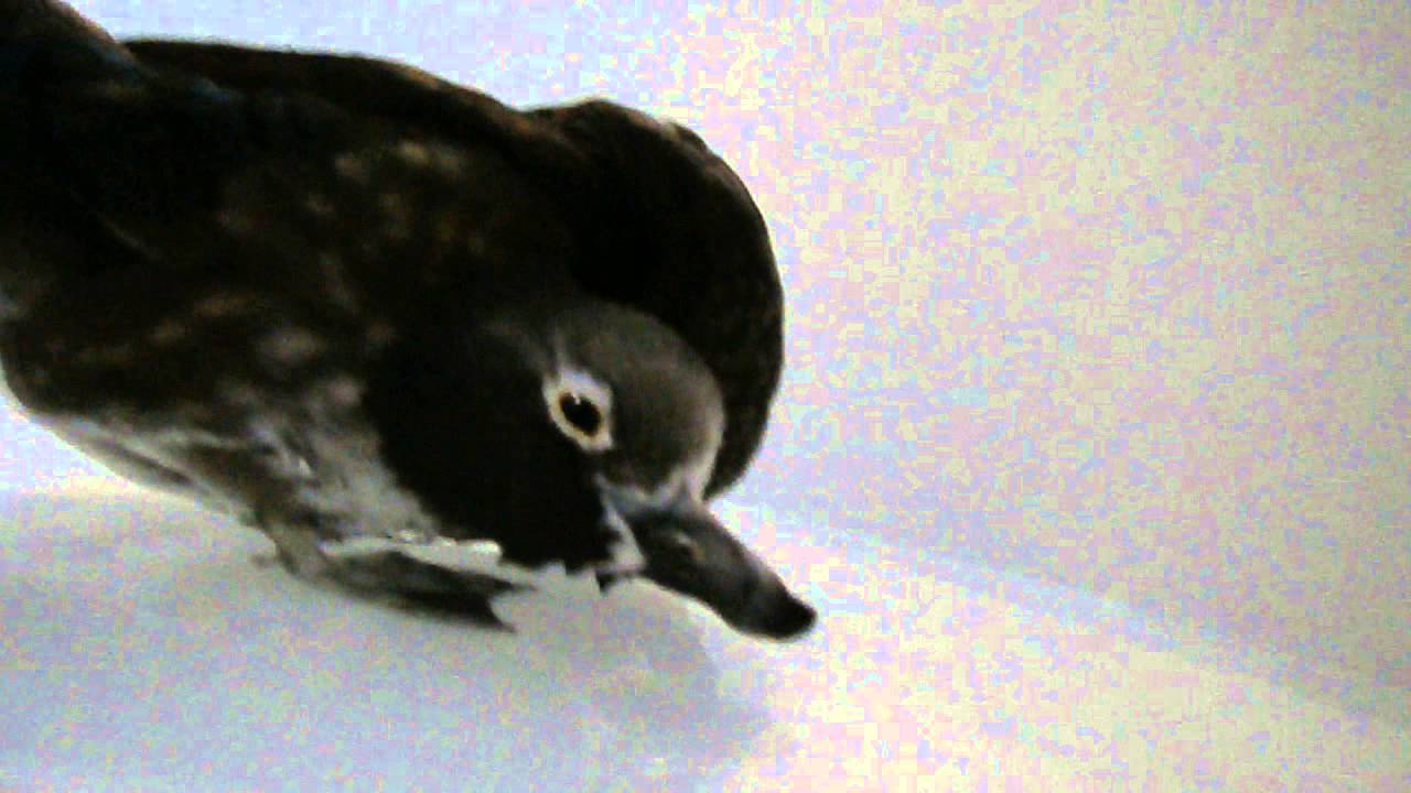 Bird Duck Head Tilt (Wry Neck) with twisted neck -need ...
