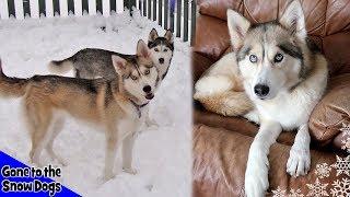 Husky Puppy Shelby and Shiloh | Flashback to 2008