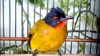 Suara Gacor Burung Kutilang Emas Buat Master