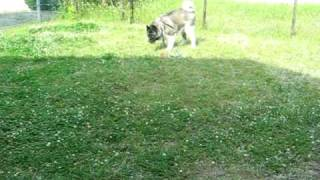 Kuro-Be, a 6-year-old American Akita, plays with his new toy in the...