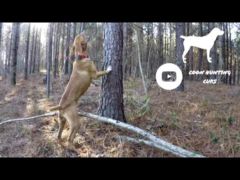 Mountain Cur squirrel hunting