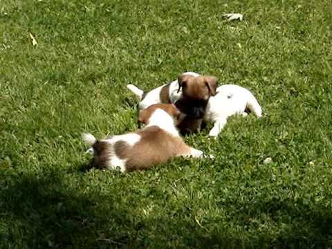 5 jack russell terrier puppies playing with mom youtube - Jack russel queue coupee ...