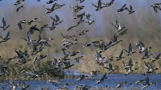 видео охота на пернатых. утки. гуси. лебеди. вид с верху.