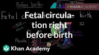Fetal Circulation Right Before Birth