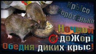 (О) Ночной доЖор! Дикие крысы на выгуле, или что будет если слишком дого чистить клетку. (Wild Rats)