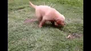 Perfect Pedigree Thailand's Pedigree And Purebred Golden Retriever Puppies For Sale