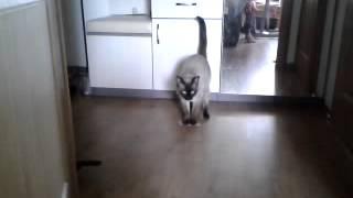 Тайский кот моет полы