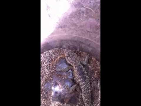Lizards kills scorpions better than pesticides