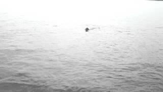 Nikko Golden Retriever Love To Jump & Swim At Quiet Water, Annapolis, Md