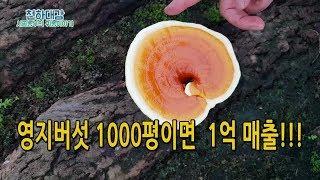 고소득작물 영지버섯재배 시설 투자비용 매출 / 귀농작물…