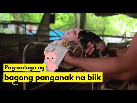 Pag-aalaga ng Bagong Panganak na Biik Hanggang Bago Iwalay