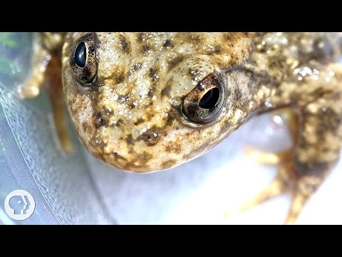 """Can the Frog Apocalypse be Stopped by a New """"Vaccine"""" ? 