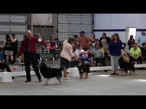 Rogue, Rune and Taavi at Northwest Cluster Dog Show - 5-21-17