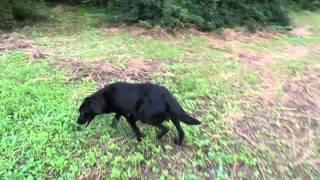 フィールド系ラブラドールレトリーバーのお母さん犬です。出産前日のお...