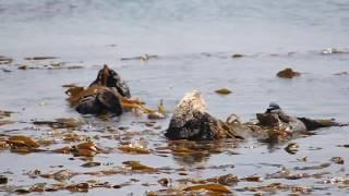 Ep 4: Sea otters - Otterly amazing!