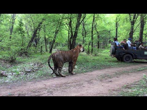 Ranthambore Tiger Sighting - T34 Kumbha in Zone 6