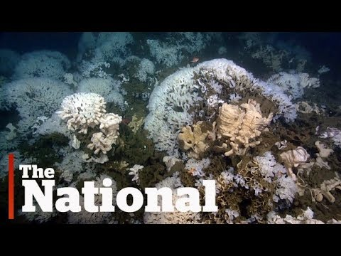 Rare glass sponge reefs found off B.C. coast