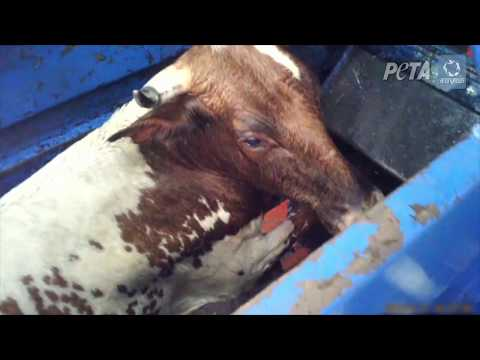 Horrible crueldad filmada en mataderos Kosher