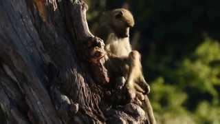 Pawiany (ang. baboons) - matka z młodym