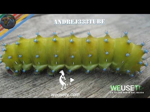 Saturnia del pero (Saturnia pyri) (lepidotteri)
