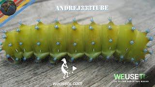 Saturnia del pero (Saturnia pyri) (lepidotteri) La più grande falena europea (animali-pesci-insetti)