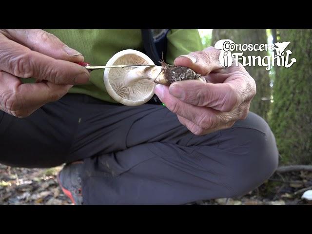 Conoscere i Funghi: Tricholoma stiparophyllum [ NON COMMESTIBILE ]