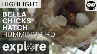 Baby Hummingbird Hatches - Bella Hummingbird - Live Cam Highlight thumbnail