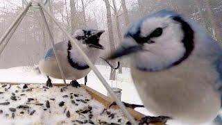 Bird Feeder GoPro: Frozen Blue Jays
