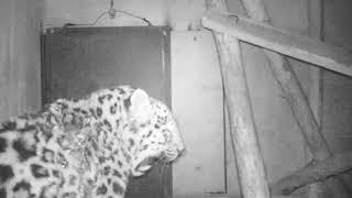 Раненый дальневосточный леопард начал принимать пищу