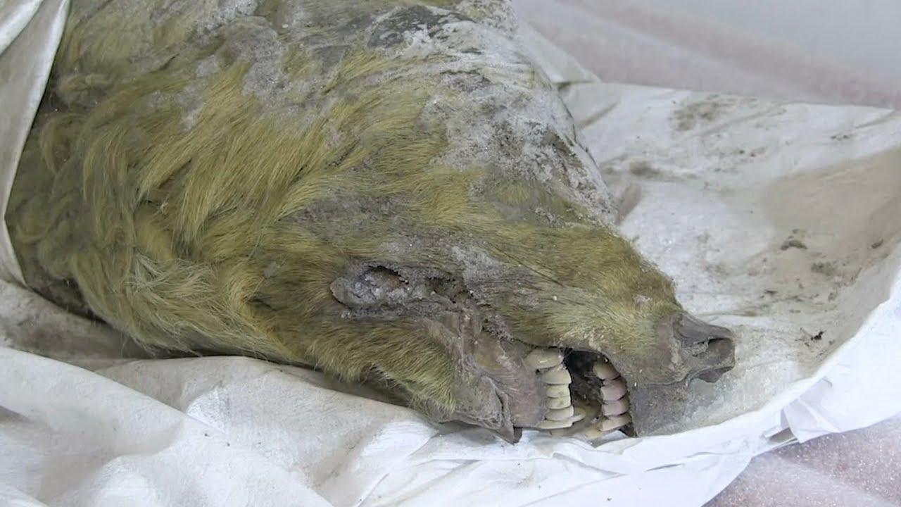 Kepala Serigala Zaman Es yang Masih Berbulu Ditemukan di Permafrost Siberia