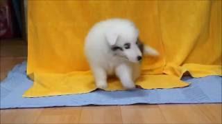 ID番号 : 9976 犬種 : シェットランドシープドッグ 性別 : 男の子(...
