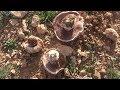 Cueillette des champignons Agaric champêtre (Algérie)  جني فطر غاريقون الحقول الجزائر