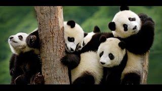 Смешные Животные!  Панда  -  ожившая игрушка! Смешные медведи! Приколы с Животными