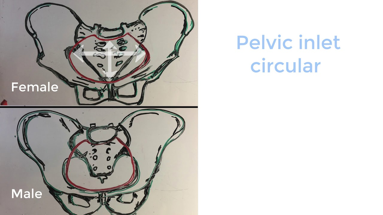 Female pelvis Vs male pelvis - 5 anatomical differences to suit childbirth