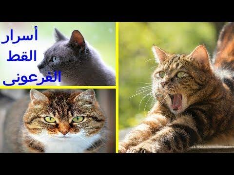 القط الفرعونى | ما الذى يميزه عن باقى أنواع القطط
