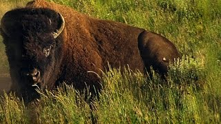 How 60 Million Bison Became 1,000 In A Century